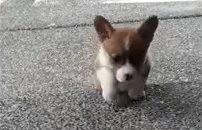 ヨイショヨイショ!短い足で段差を上るコーギーの子犬ちゃん