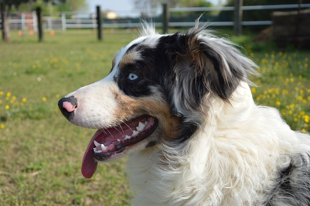 オーストラリアンシェパードは飼って楽しい犬!