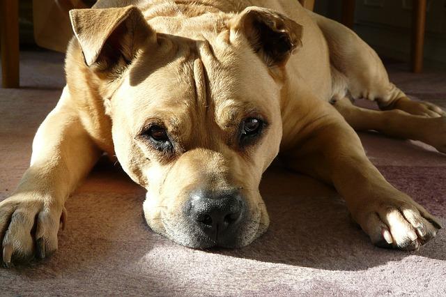 犬のホルネル症候群 原因や症状について