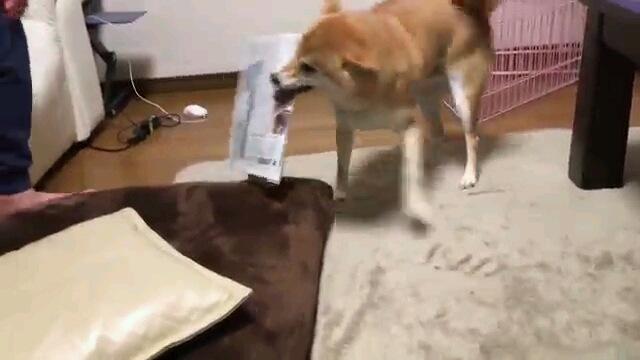 持ってきたから褒めて!でも渡したくない!新聞を咥えてくる柴犬