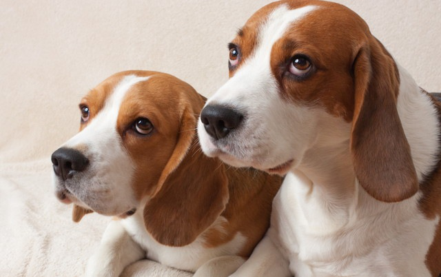 同じ家庭の犬同士の関係は、お互いの行動に影響を及ぼすか?という研究