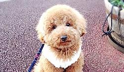 大人気!飼いやすい犬種トイプードルの魅力5つ