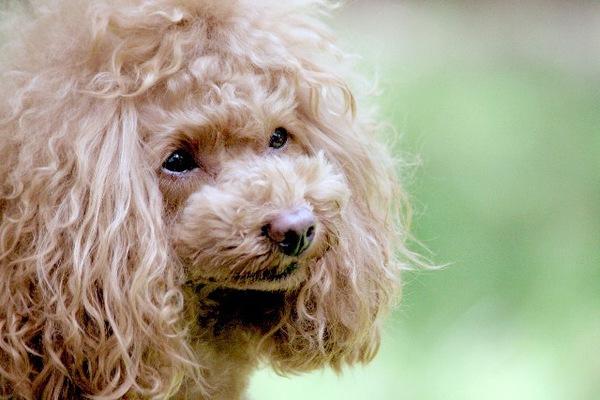 老犬の震えはどうして起こる?