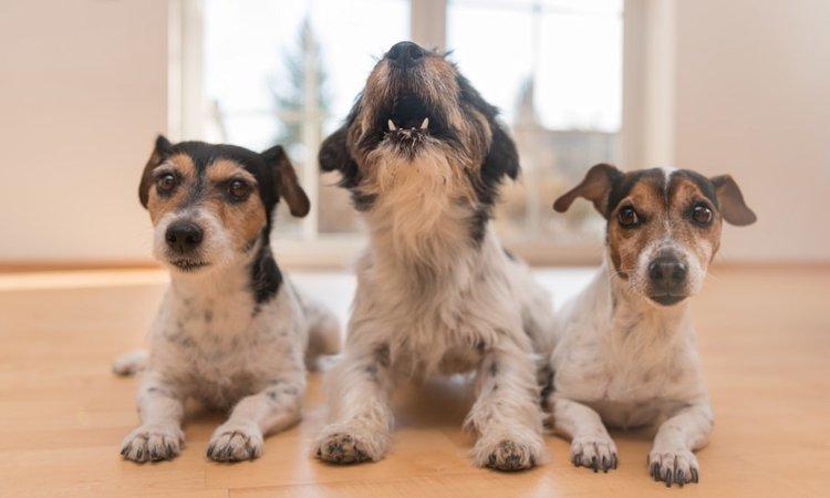 犬がチャイムの音に反応する理由とは