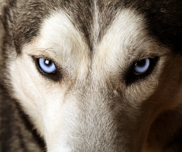 犬が「追跡型ハンター」へ進化した経緯がついに解明!【研究紹介】