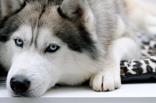 青い瞳のシベリアンハスキー