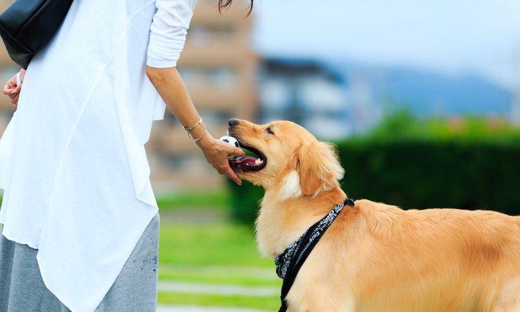犬に「もってこい」を教えるしつけ方