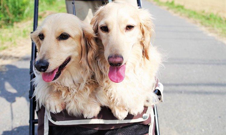 多頭飼いが上手くいく?新たに迎える犬を選ぶポイント