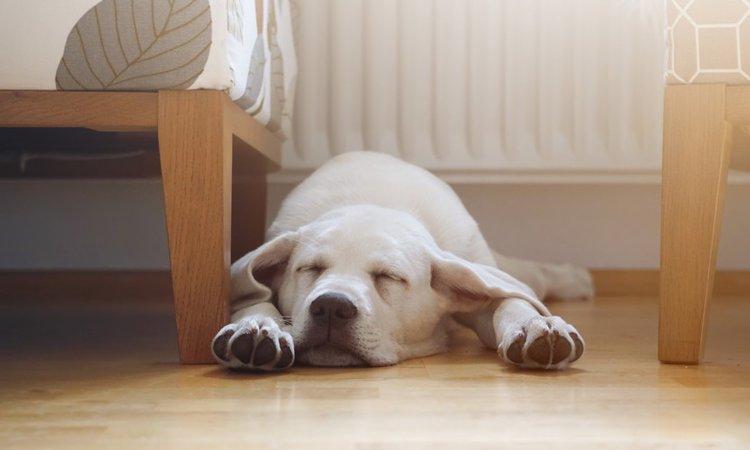 犬が床に顎をつけて眠る理由