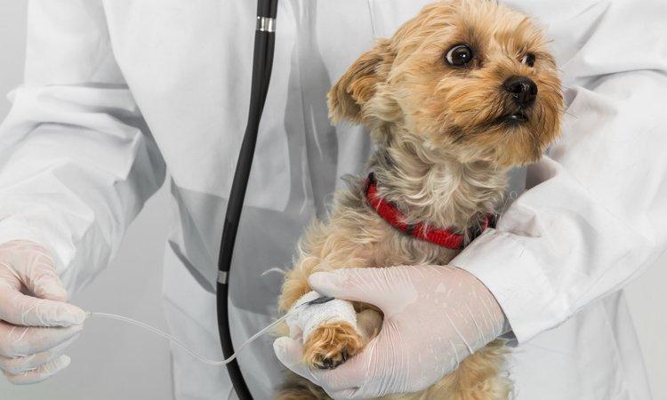 犬の免疫介在性溶血性貧血について