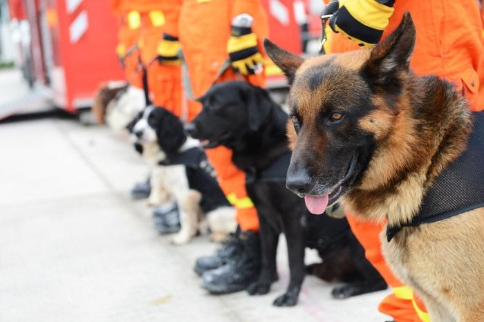 災害救助犬について ~犬種や分類~