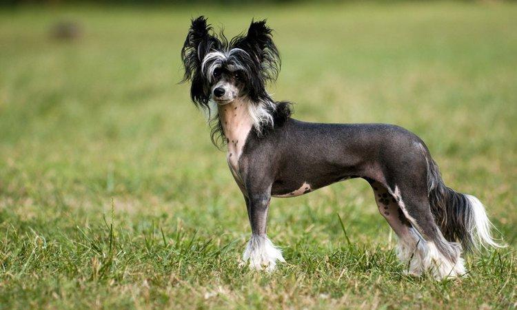 体に毛が生えない犬種7選!日本では珍しいヘアレスドッグたち