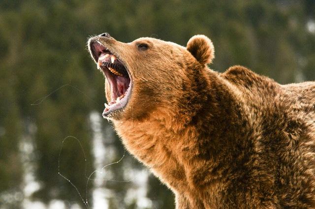 クマを追い払うベアドッグとは?向いている犬種や歴史など