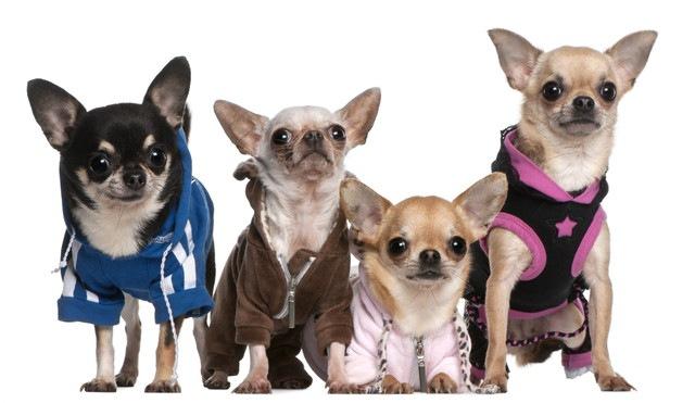 子犬の頃から洋服に慣れさせておくべき理由とその方法