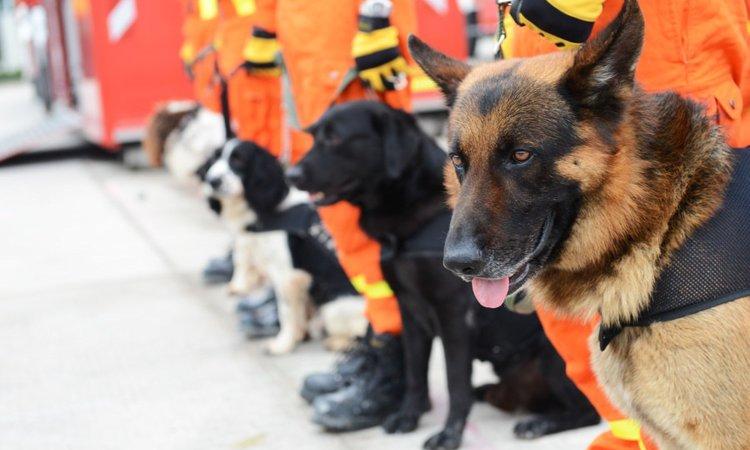 災害救助犬が靴を履かない理由とは?