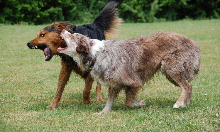 犬の突発的な攻撃行動は「痛み」が原因かもしれない?