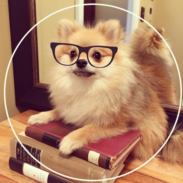 犬とキツネのハーフ可愛さ最強説!Pom Pom Chewyちゃんが話題(*´ェ`*)(まとめ)