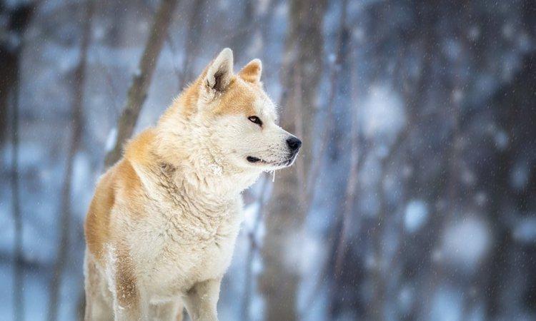 秋田犬について ~性格や特徴~