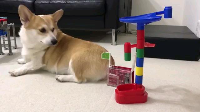 ピタゴラスイッチの玩具でイタズラされるコーギー