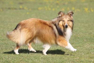 シェルティ(シェットランドシープドッグ)の性格と特徴その魅力
