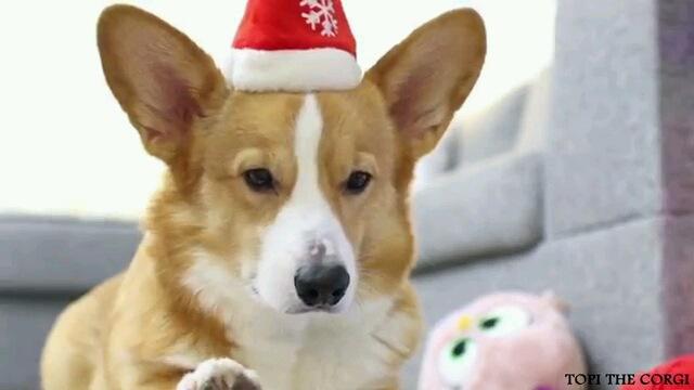 クリスマスの準備に大慌てなコーギーちゃん
