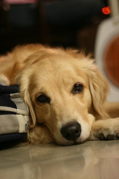 犬の子宮蓄膿症について 症状と原因、治療や予防対策まで