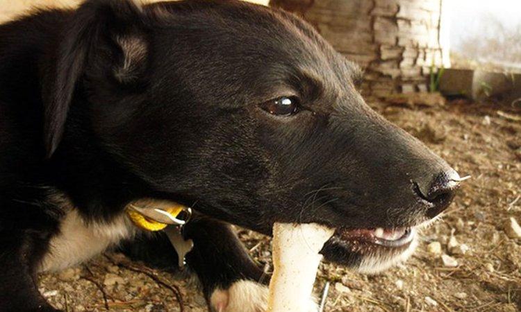 犬は骨を食べてもいいのか?その見解と正しい与え方について