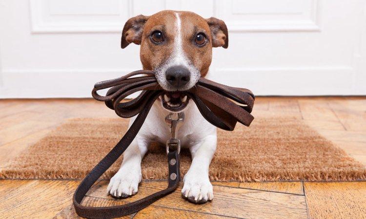 犬が散歩に行きたがる5つの理由