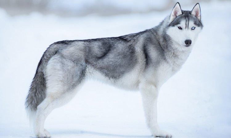 美しい犬種3選!それぞれの特徴や飼う時の注意点まで