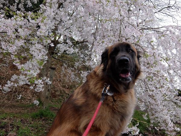 犬と楽しめる花見スポット!奥山田の樹齢1300年のしだれ桜&村積山ハイキング!