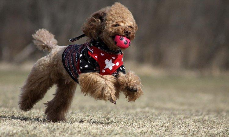 犬が音の鳴るおもちゃを好む理由
