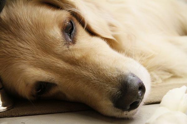 老犬の病気と毎日の健康管理