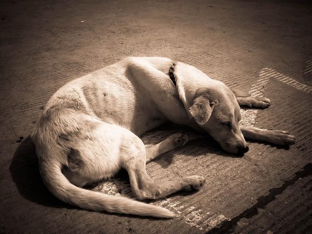 病気を患っている老犬