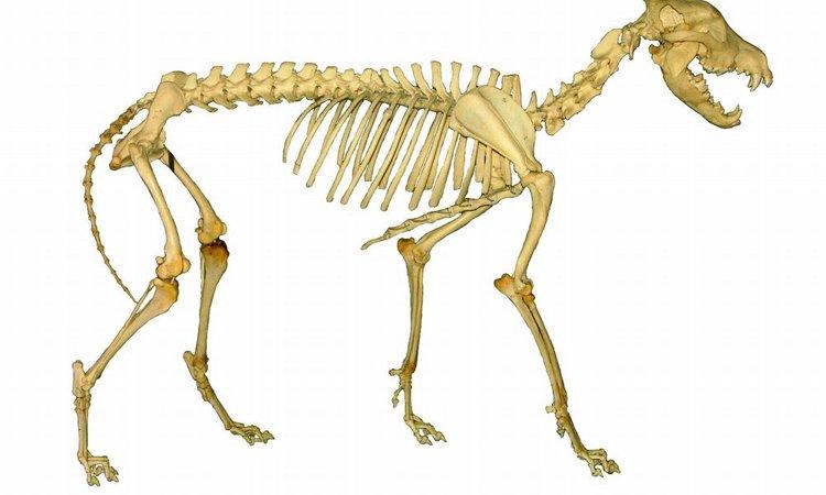 犬の骨肉腫について その症状と原因、予防法や治療法