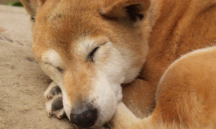 シニア犬と暮らすということ【ワンコも必ず老いていく】