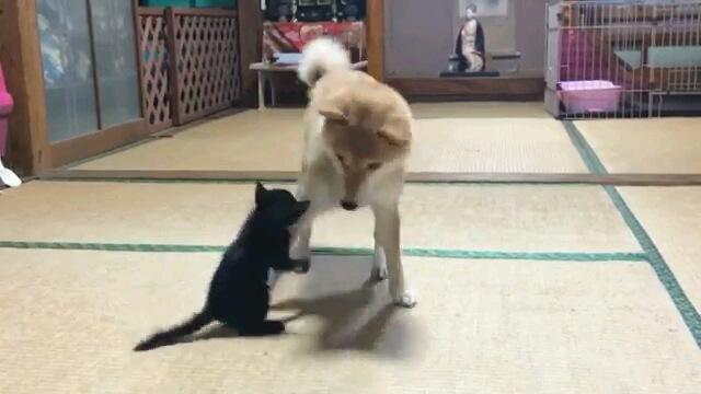 すっかりお母さん!?子猫の世話をやく柴犬(動画)