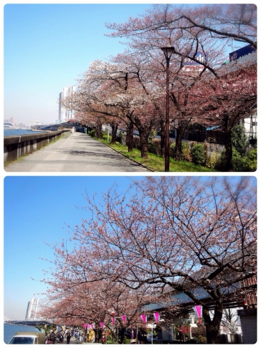 犬と楽しめるお花見スポット!江戸からの桜の名所「隅田公園」へ行こう!