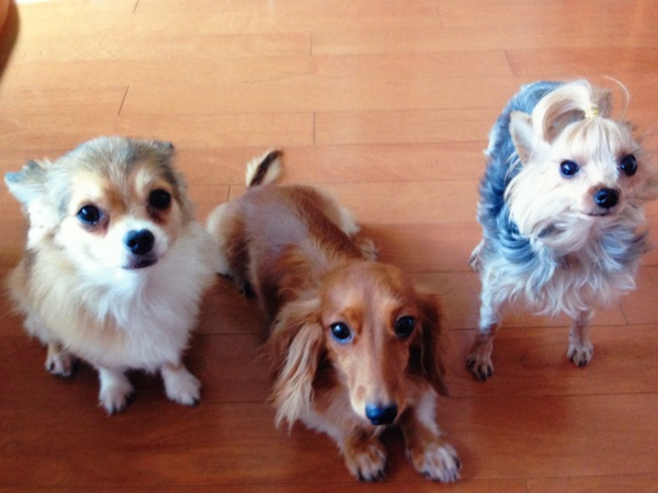 犬の貧血の症状と原因。予防法と早期発見方法!