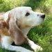 犬のボケは人が原因?飼い犬ならではの生活が痴呆を誘発する!