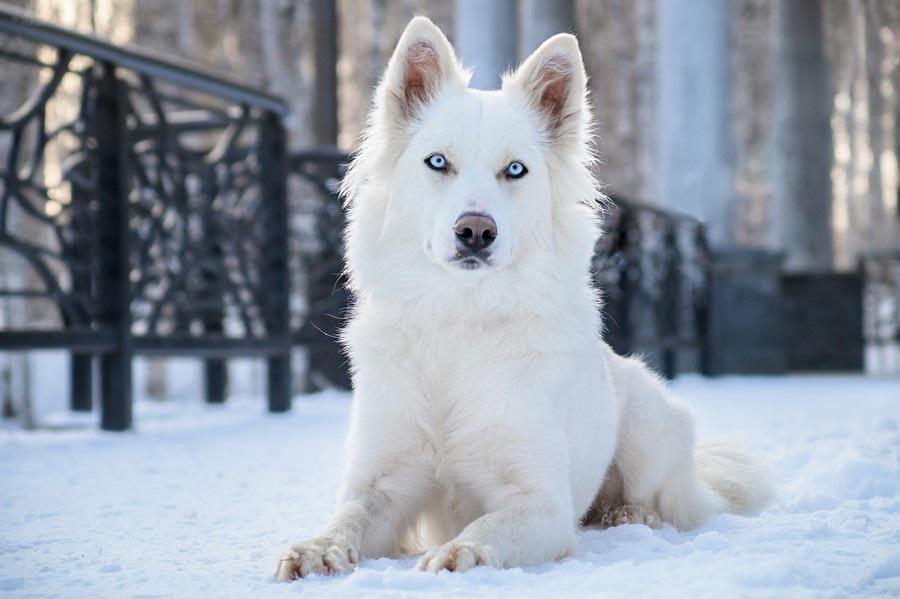 超古代犬種「ヤクーチアンライカ...