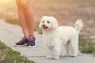 ボロニーズってどんな犬?性格や特徴、値段や飼い方まで