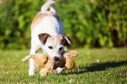 なぜ犬はオモチャを咥えながら振り回すのか?