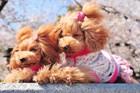愛犬に似合うドッグウェアやバック・小物の流行とは?