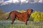 チェサピークベイレトリバーってどんな犬?性格や特徴、値段や飼い方まで