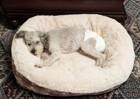 犬にオムツが必要になるタイミングと注意点