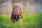 犬はどうして食糞行動をするのか?についての研究と考察