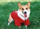 犬服のサイズの正しい測り方について