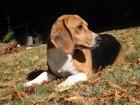 ビーグルはスヌーピーのモデルとなった犬種!