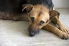 独り暮らしの飼い主が突然死したら愛犬はどんな行動を取るか?