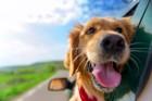 犬の車酔いを予防する5つの方法